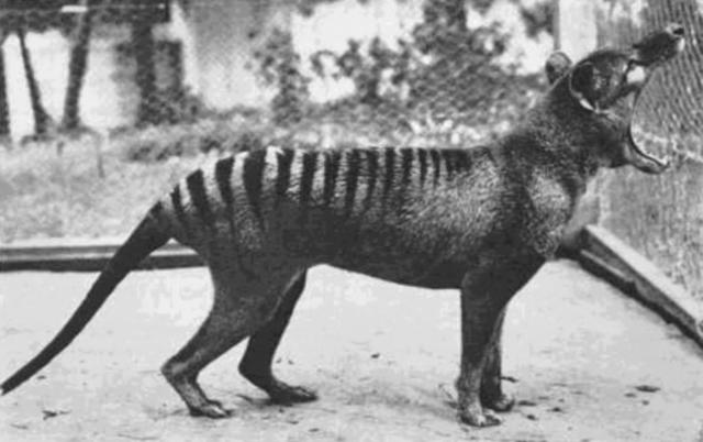 tasmanian tiger, tasmanian wolf, facts, animal, extinct, australia, tasmania, thylacine, devil, amazing, wild life