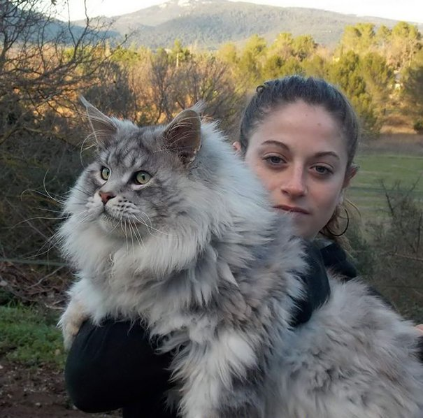 cat, animal, kitten, maine coon cat, cat breeds, cat photos, photography, cute, adorable, giant cats, unique cats, amazing