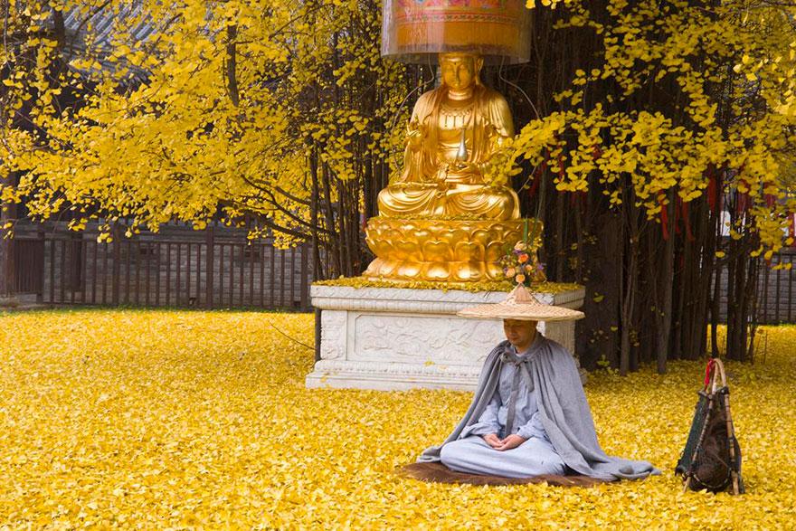 ginkgo, tree, yellow, leaves, chinese, china, buddhist temple, autumn, beautiful autumn, Budha, golden tree, Gu Guanyin Buddhist Temple,oldest tree, beautiful, amazing