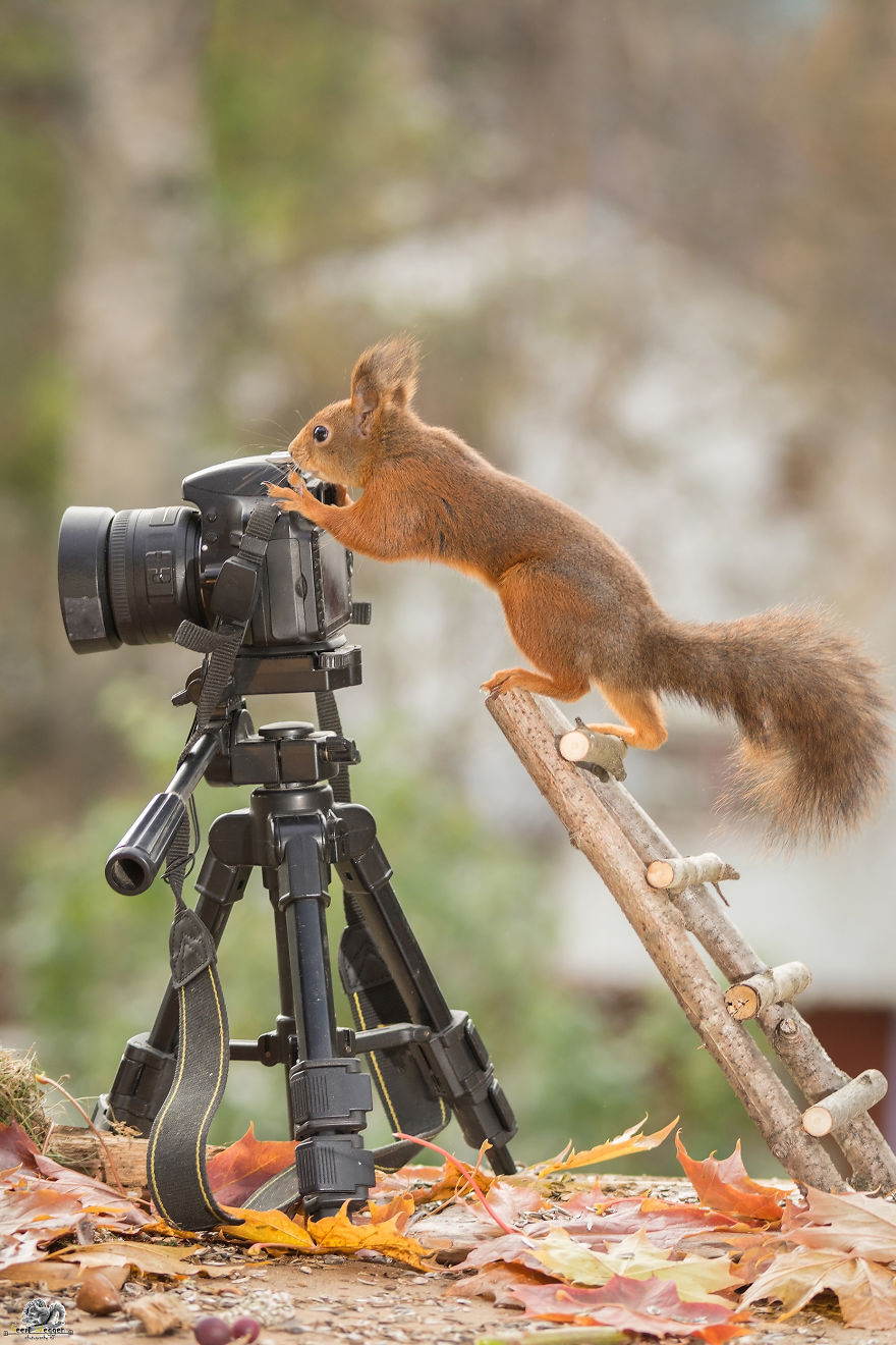 shoot, Wild Red Squirrel, squirrels, nature, Animal photography, funny squirrel, squirrel photography, Photographer Geert Weggen, funny, lollz