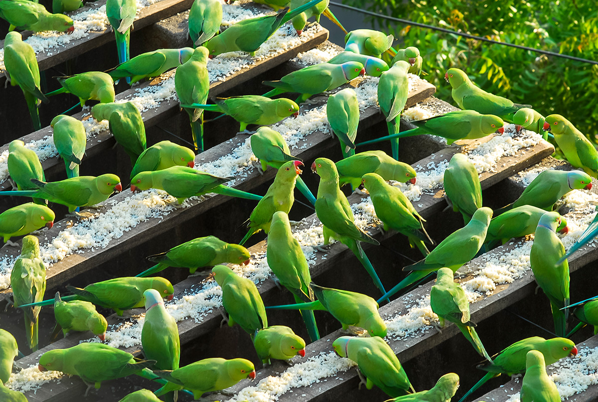 parrots, green parakeets, birds, pets, creature, Chennai, India, camera repairman, Sekar, tsunami struck, hungry, feed, rice, cook food, animals, cute, little, green parrots, tiny, adorable, sweet, lovely, beautiful, wow, amazing, great, feeding