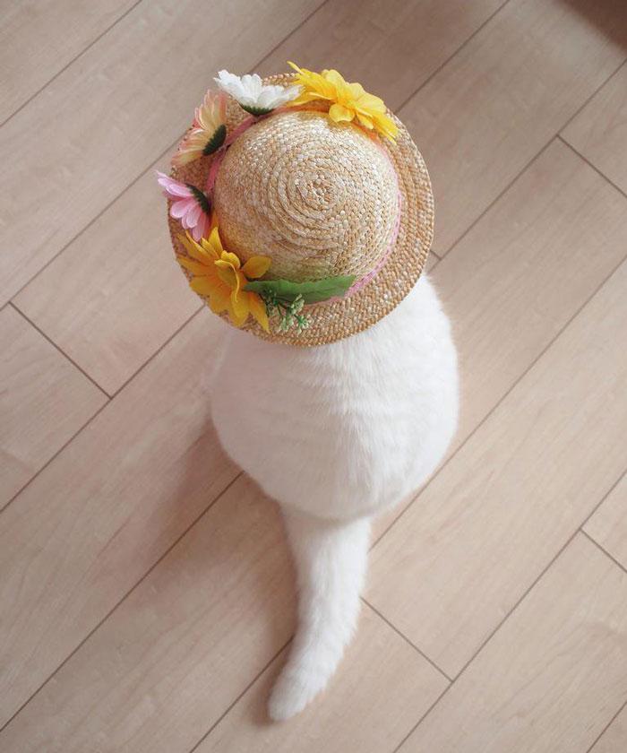 japanese, cat, scottish, ura-chan, amimal, cute, lazy, Cat costumes, funny, old cat, senile cat, Ura, amazing, awesome, internet star, japan