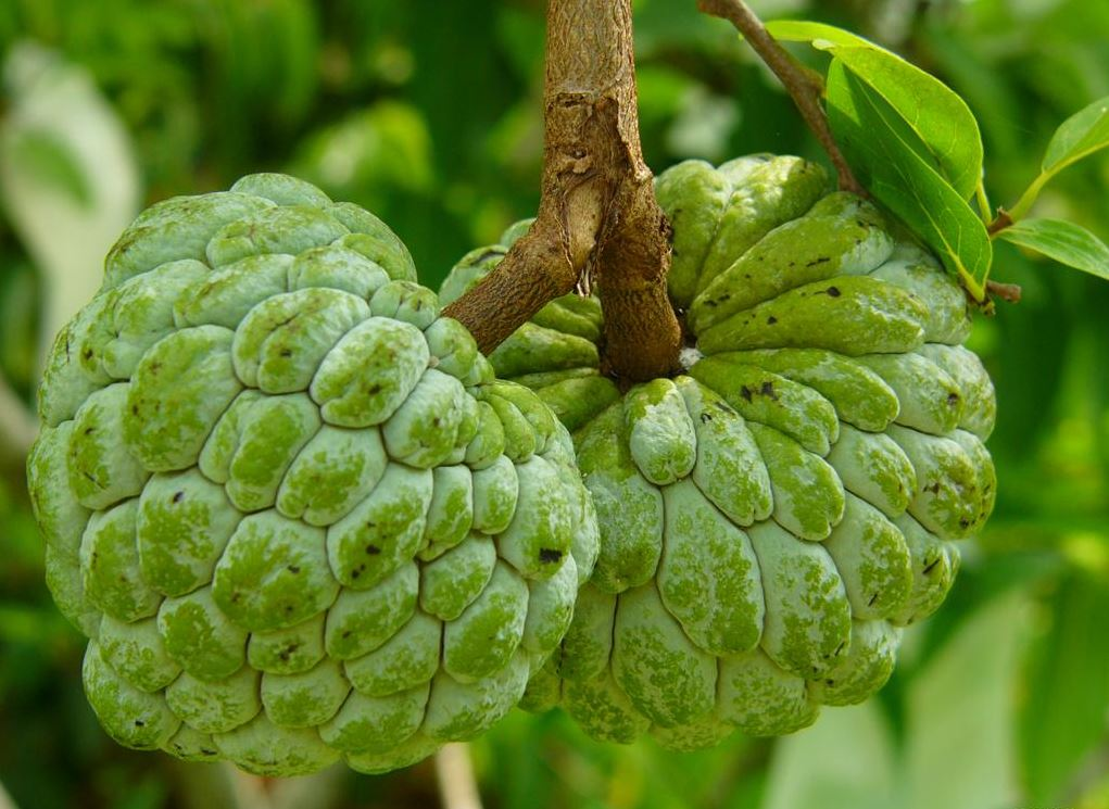 15 Proven & Amazing Health Benefits of Custard Apples ! | Reckon Talk ...