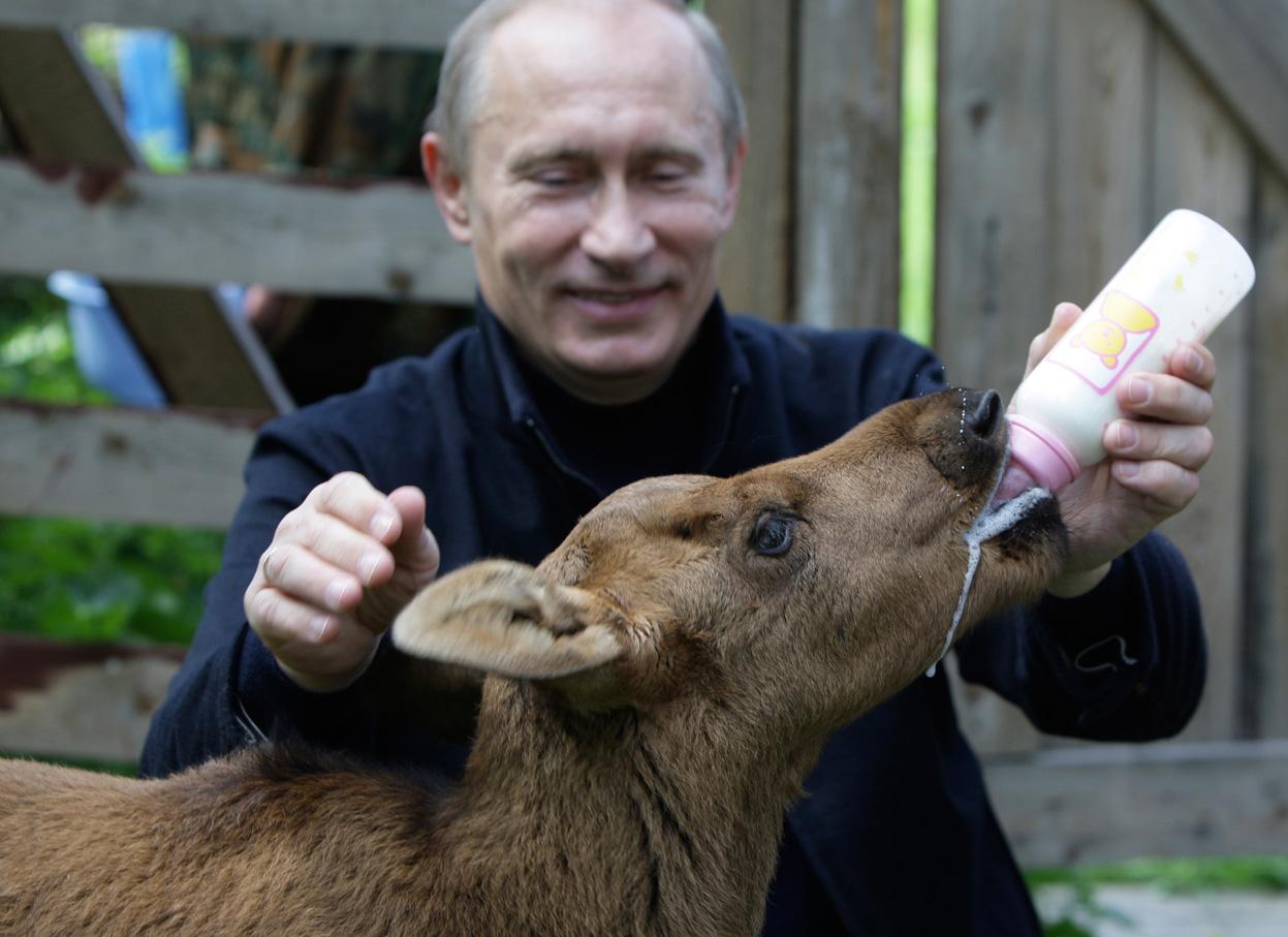 putin feeding young moose