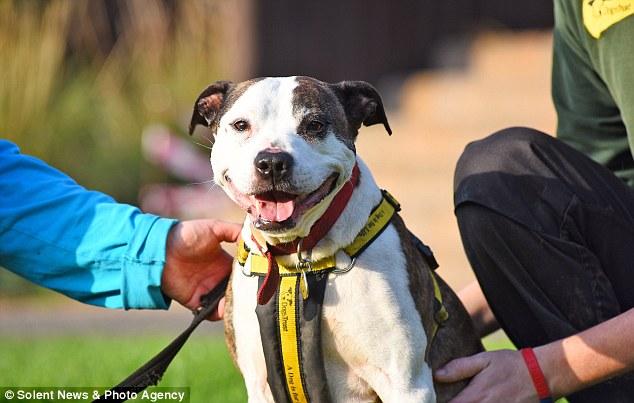 britain, animal, dog, cute, smile, belle, staffie, happiest dog