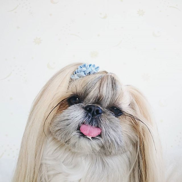 15 Cutest Photo Of Japanese Hairstyle Dog Quot Kuma Quot Instagram