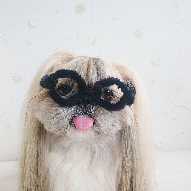 cute, fashionable dog, japan, japanese dog, shih tzu, peke, instagram, kuma dog photo, hairstyle dog