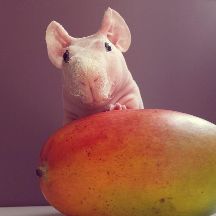 guinea, pig, food, photoshoot, ludwik, animal, cute, awesome, photography