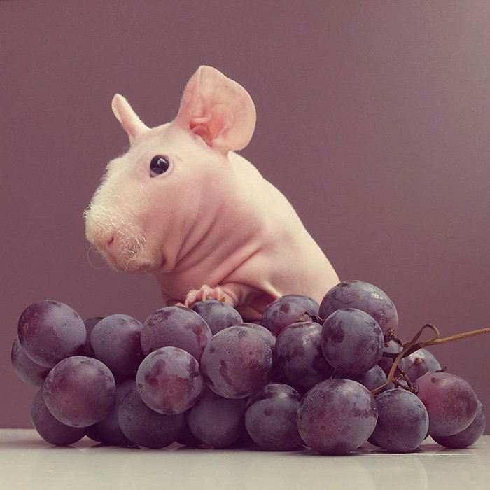 guinea, pig, food, photoshoot, ludwik, animal, cute, awesome, photography