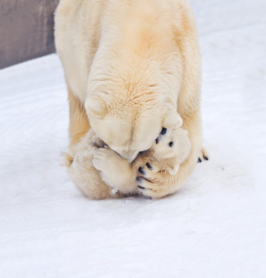 cute, baby polar bear, photography, animal, cub, adorable, amazing, playing, snow