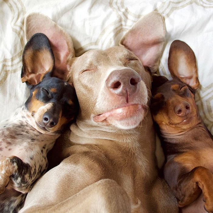 cute dogs, sleeping buddies, Harlow, Harlow and Sage, Indiana, Reese, Sage, Weimaraner, animals, Dachsund, funny animals, adorable
