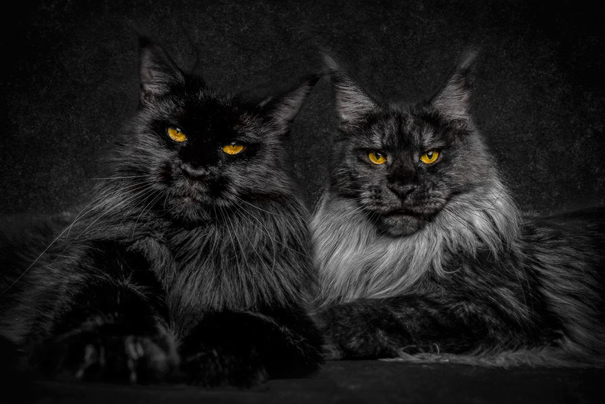 Maine Coons Cats - A Photography by Robert Sijka