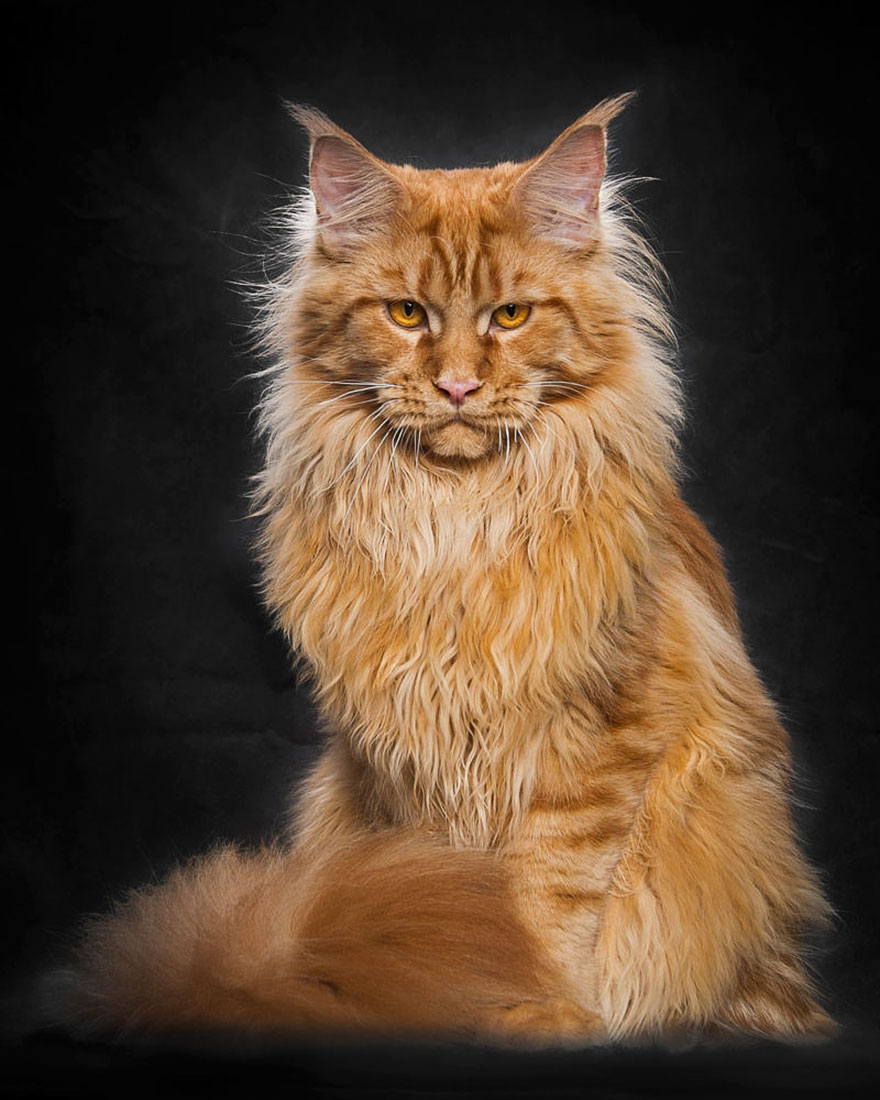 biggest cat, cat photography, Maine Coon cats, Robert Sijka, photographer, wow, awesome, animal