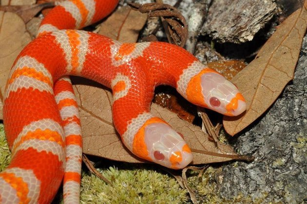 snake, two headed snake, amazing, wtf, weird