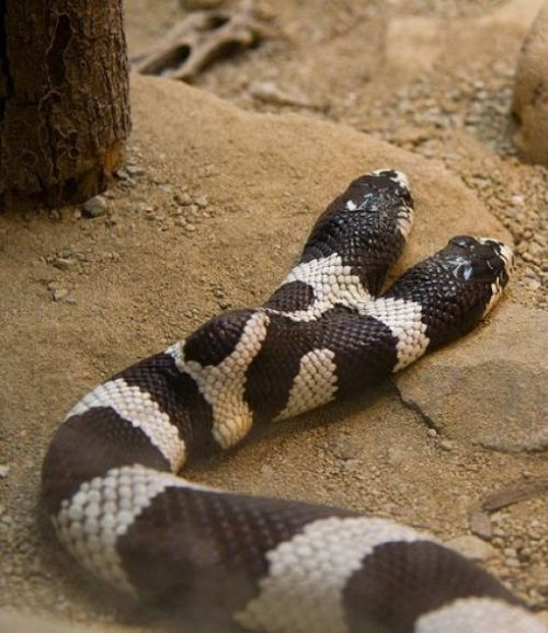 snake, two headed snake, amazing, wtf, weird, reptile