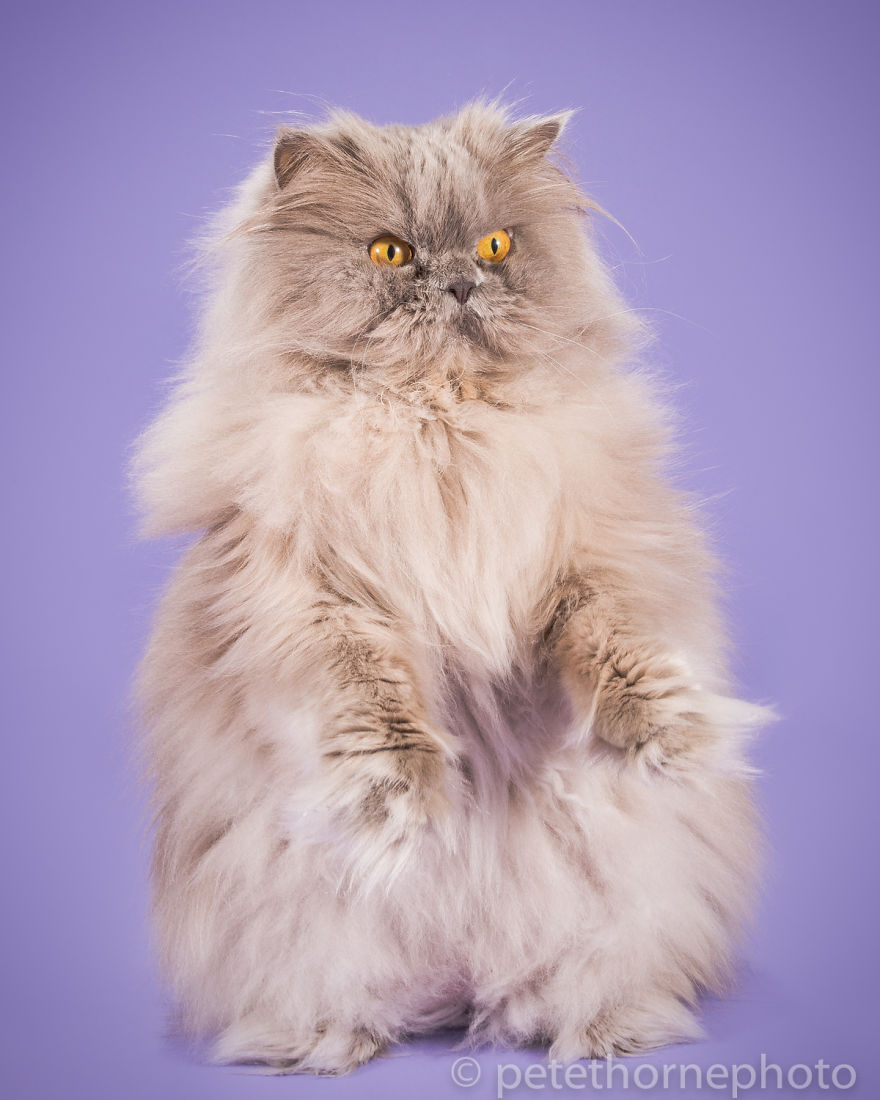 Animal photography, cat photography, chubby cats, fat cats, photography, cute, funny