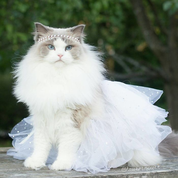 10 Amazing Pics Of Aurora The Fluffy Cat