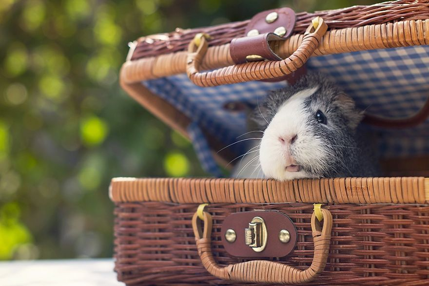 animal, photography, cute, guinea pig, photoshoot, pet, adorable, amazing
