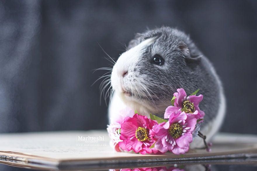 animal, photography, cute, guinea pig, photoshoot, pet, adorable, amazing