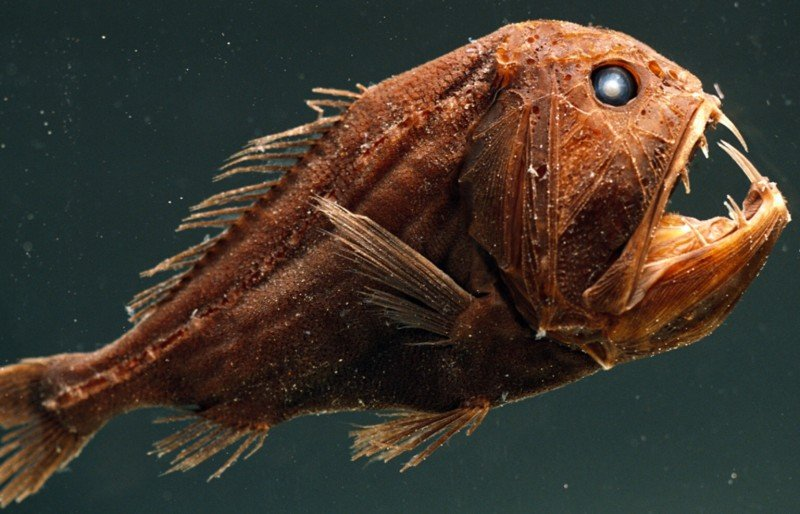 10 mysterious creepy deep sea creatures reckon talk for Oily fish representative species