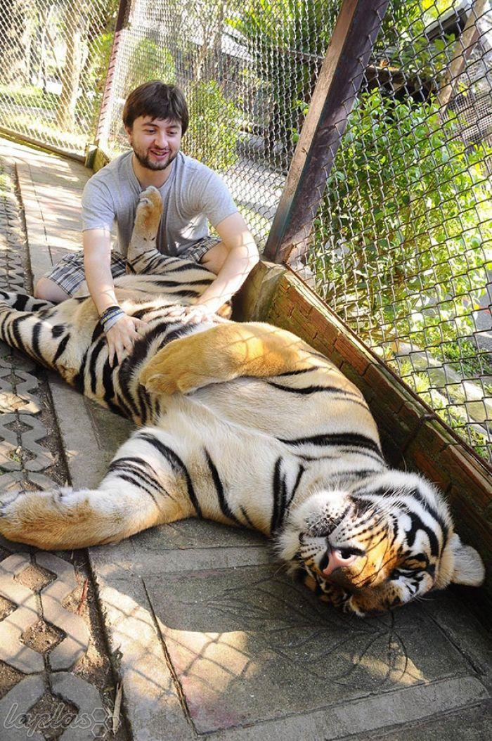cute, cat, big cats, lion, tiger, animals friendship, human and tiger, tiger and human love, friendship