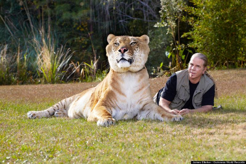 amazing, big cats, liger, tiger and lion, weird, guinness world records, hybrid animals, liger, liger hercules