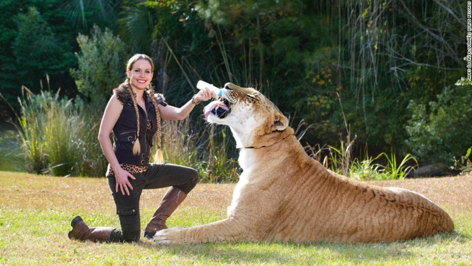 Amazing, Big Cats, Liger, Tiger And Lion, Weird, Guinness World Records