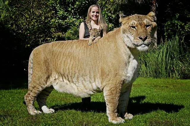 amazing big cats liger tiger and lion weird guinness world records biggest cat in the