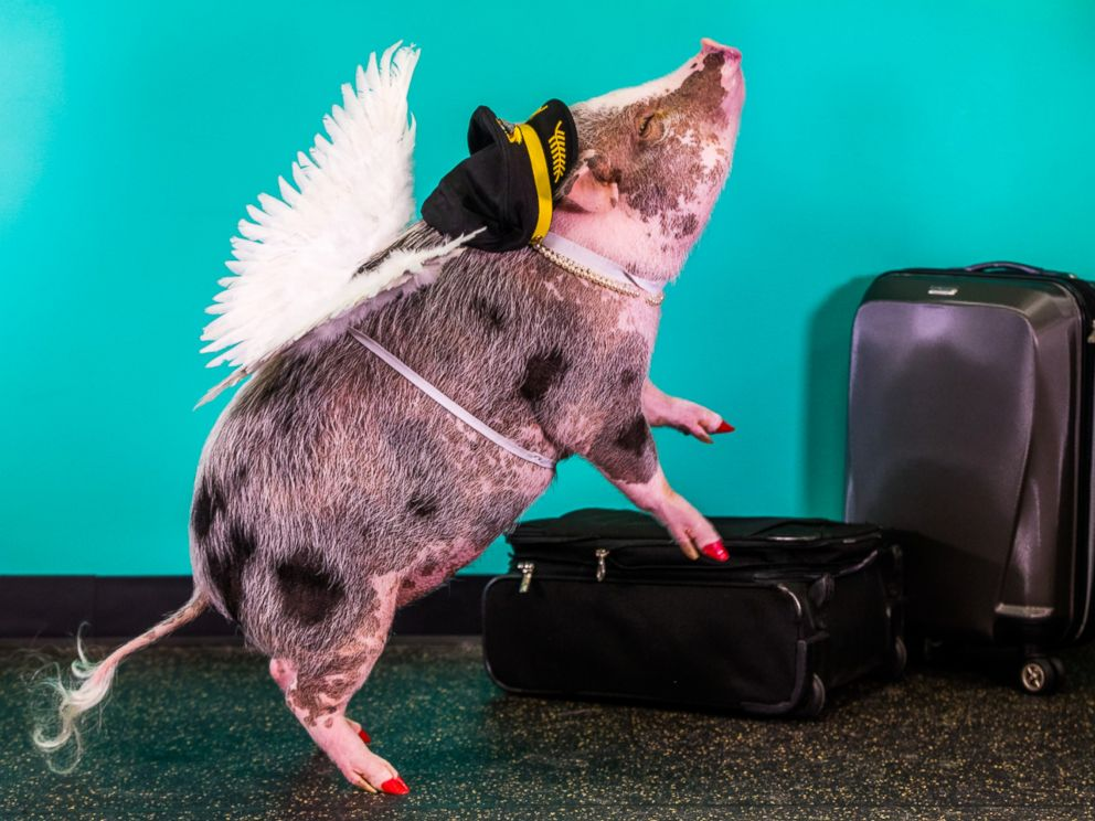 lilou pig, pigs instagram, amazing, animal photos, aweee, human & animal, pet, cute, juliana breed pig, airport therapy pig