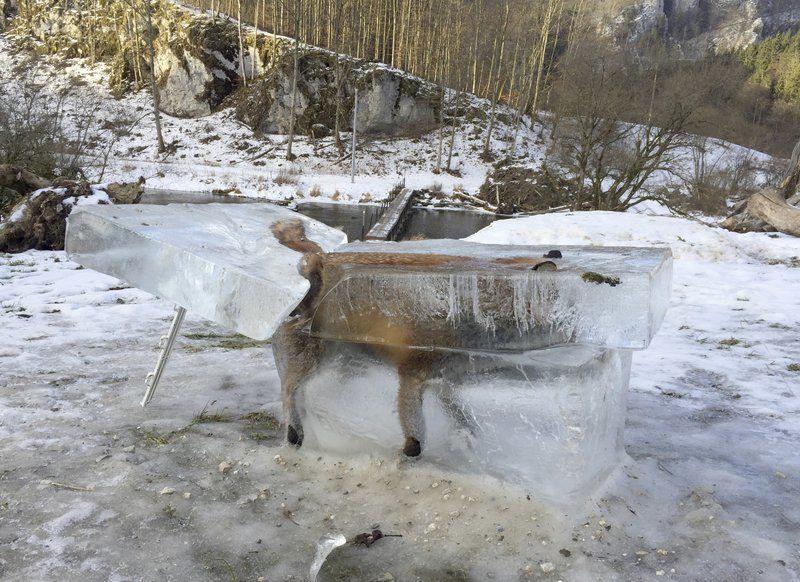 fox, germany, winter, europe, frozen fox