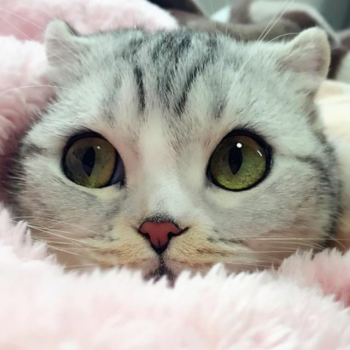 10 Photos Of Adorable Big Eyed Japanese Cat Hana