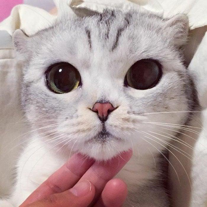 Blue Eyed Insta Cat