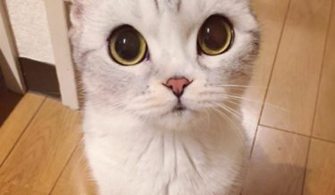instagram, viral, cute, japan, japanese, hana cat, big eye cat, scottish fold cat, hana instagram cat