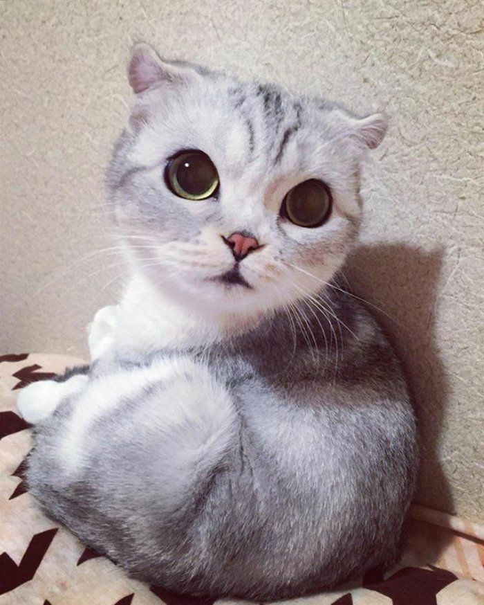 instagram, viral, cute, japan, japanese, hana cat, big eye cat, scottish fold cat, hana instagram cat