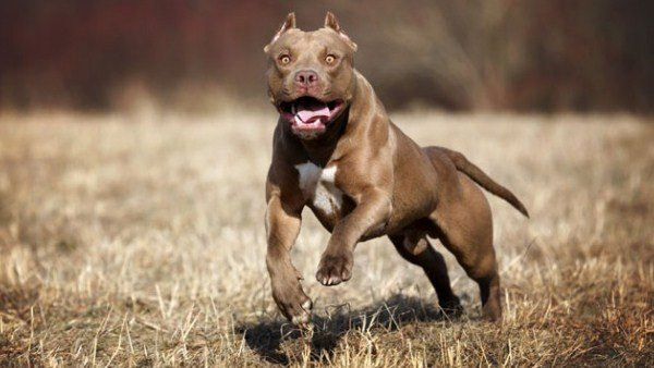 15 Most Dangerous Dog Breeds In World
